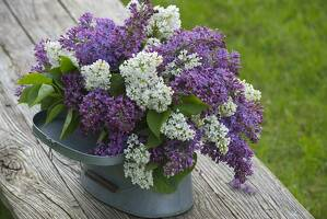 Bouquet of lilacs in a tin pot